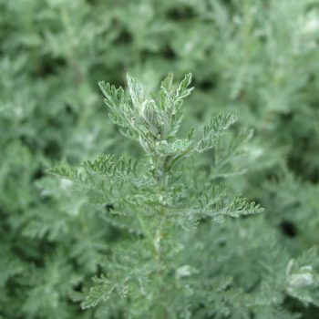 Artemisia pontica, romersk malört/Photo: By Sodla (Own work) [CC BY-SA 3.0 (http://creativecommons.org/licenses/by-sa/3.0)], via Wikimedia Commons